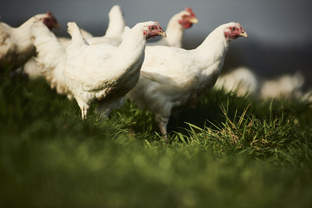 Introducing Sutton Hoo Chickens
